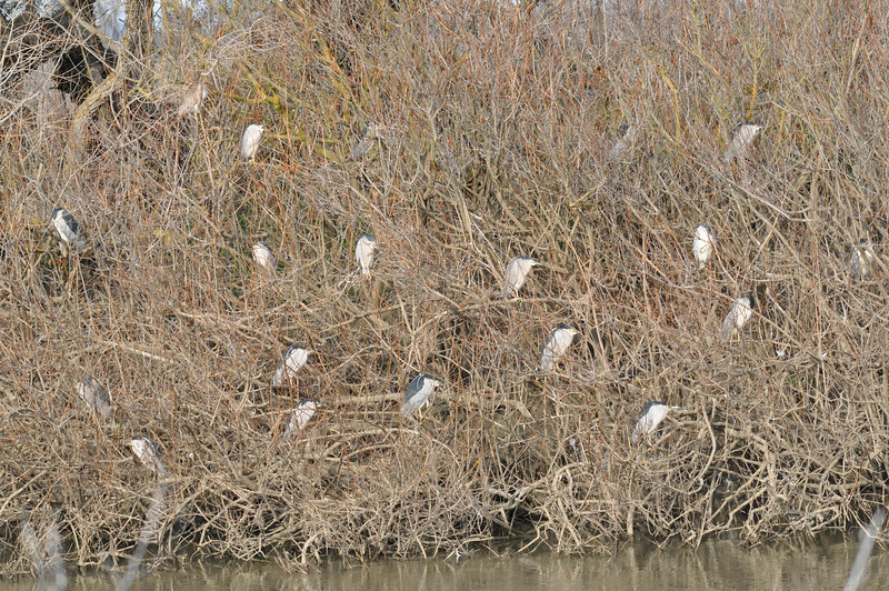 Then a bit farther along the road, we saw this roost and counted 62 herons.  That is a nice bonus too.