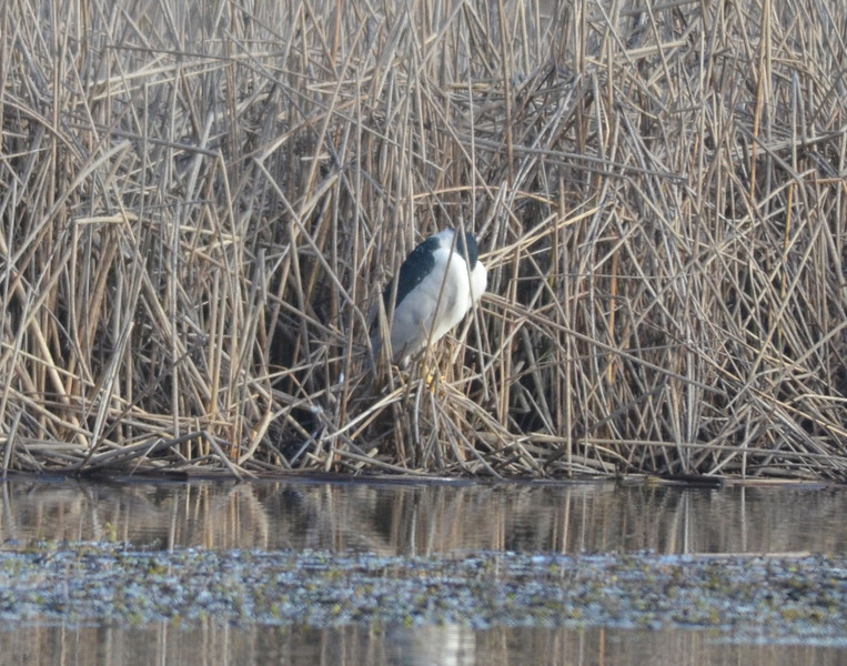 As we neared the end of the auto loop, we spotted a black crowned night heron sleeping at the edge of the reeds along an irrigation canal.  Looking a bit more, we saw five other herons sleeping at intervals of a hundred yards.<br /> <br /> We thought that the density of herons was a bit striking.