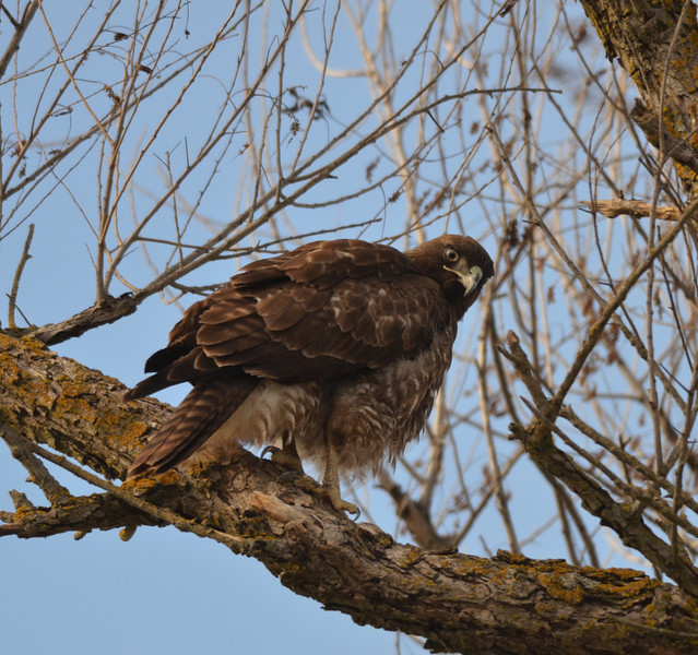 This hawk was sitting in a low tree next to the loop road.  The Reserve was certainly filled with wildlife that day.