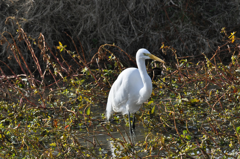 Great egrets are not a rare sight for us but we still  like seeing them.  This one has breeding plumage and the green color in front of the eyes.