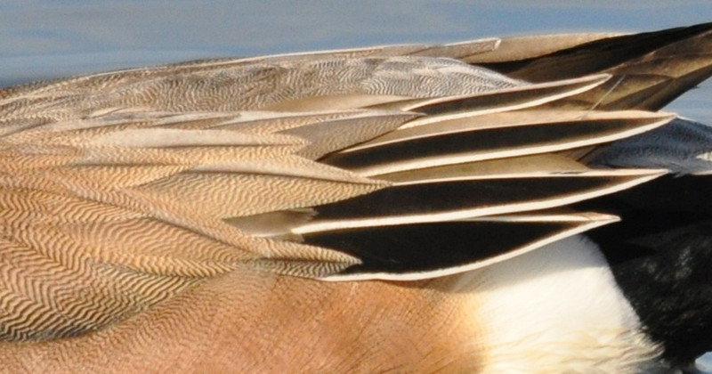 Some detail of the American wigeon's feathers.