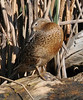 This female cinnamon teal didn't have the rich color but it did have a nice pattern.