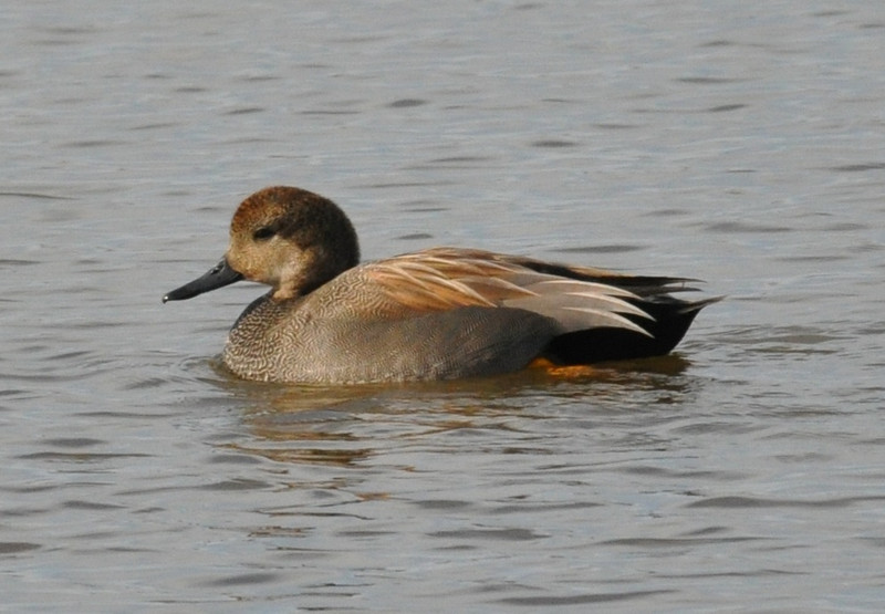 Compared to the ducks in the preceding pictures, the gadwall looks a bit plain.  However, subtle colors and elegant shapes of its feathers are rewarding to the viewer.