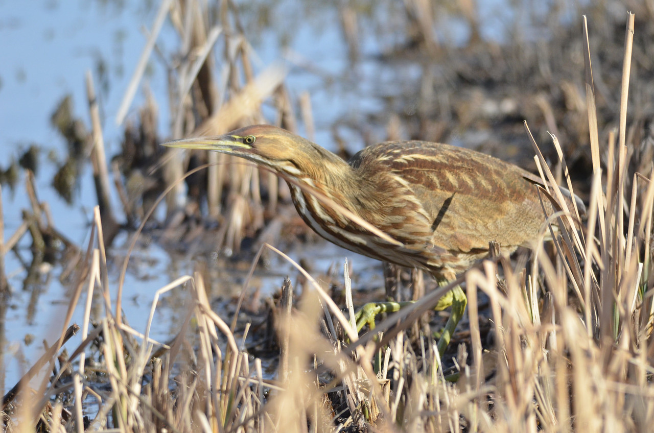 We were driving around the auto loop when I spotted a bittern in the open about 30 feet from the car.  By the time I was ready to take a picture, the bittern had reached some reeds.  We did manage to watch the bittern for a few minutes and get some pictures.<br /> <br /> Seeing a bittern is not a common occurrence for us so this sighting was a big bonus.