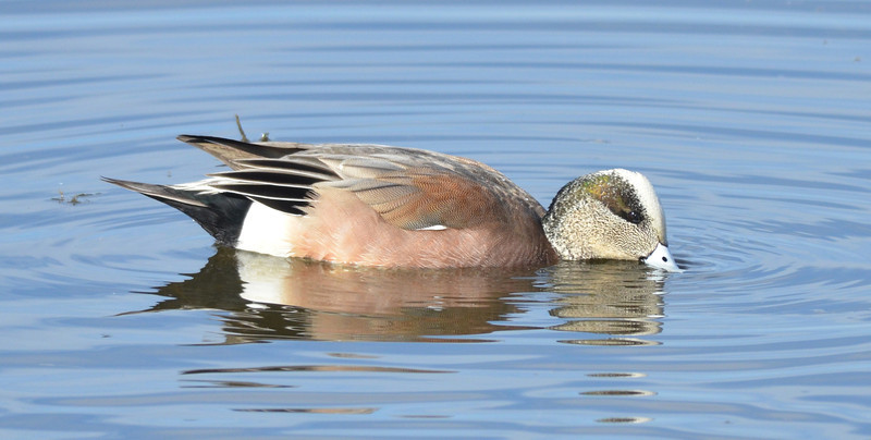 The green stripe on the side of this wigeon's head is not as strongly colored as on some we males we saw.  Another handsome paint job.