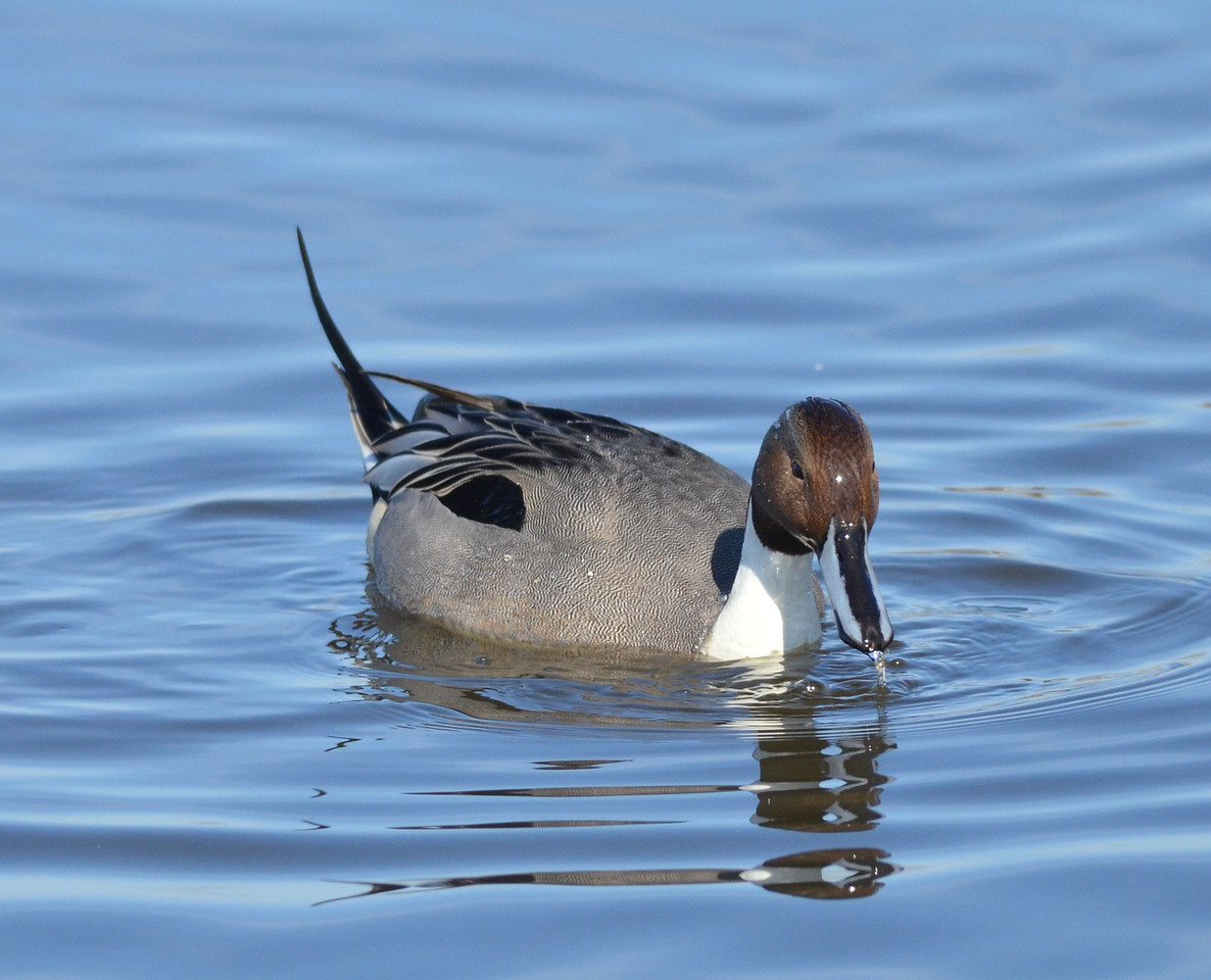 Bear with us. The pintails were knockouts and close enough for good pictures, so we have several pictures to share.