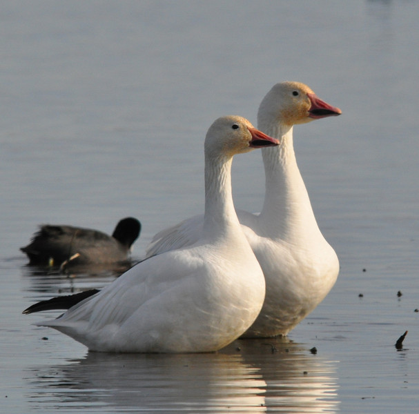 This pair of Ross or snow geese stayed close together as we got several shots.  They look quite companionable together.  Comfortable old marrieds?