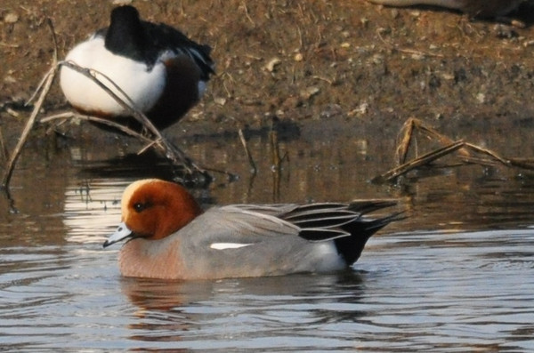 Another view of the Eurasian wigeon.  The creamy white stripe is shared with the American wigeon.  It stands out at a distance, making the bird easier to identify.