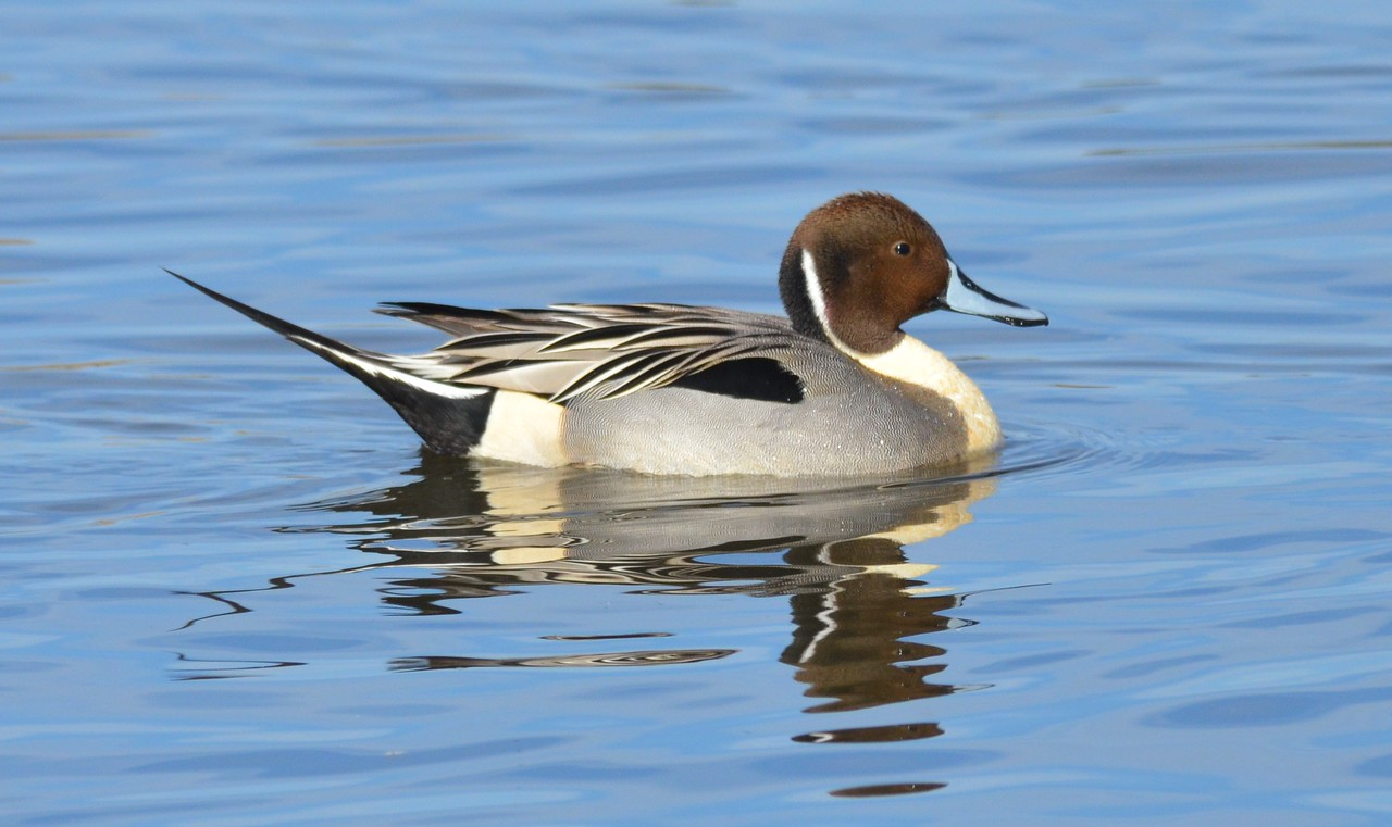 I think that pintails got more than their share of beautiful details.  It is hard to declare a winner among the duck species we saw.