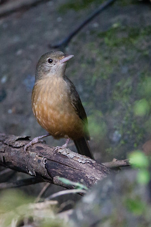 More birds & Nature at Dilkusha Nature Reserve, Maleny, Queensland, Australia. Photos by Des Thureson - http://disci.smugmug.com
