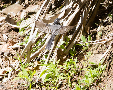 Grey Fantail (Rhipidura albiscarpa)? - Dilkusha Nature Reserve - Dilkusha Birds; Maleny, Sunshine Coast, Queensland, Australia; 06 August 2012. Photos by Des Thureson - http://disci.smugmug.com.