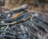 """Rufous Fantail (Rhipidura rufifrons) - Dilkusha Nature Reserve - Dilkusha Birds; Maleny, Sunshine Coast, Queensland, Australia; 06 August 2012. Photos by Des Thureson - <a href=""""http://disci.smugmug.com"""">http://disci.smugmug.com</a>. (ISO 12,800)"""