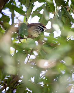Rufous Fantail (Rhipidura rufifrons) - Birds at Dilkusha; Maleny, Sunshine Coast Hinterland, Queensland, Australia; 02 May 2012. Photos by Des Thureson - http://disci.smugmug.com.  (Dilkusha Nature Reserve)