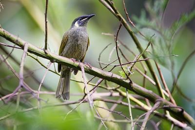 Lewin's Honeyeater (Meliphaga lewinii) - Birds at Dilkusha; Maleny, Sunshine Coast Hinterland, Queensland, Australia; 02 May 2012. Photos by Des Thureson - http://disci.smugmug.com.  (Dilkusha Nature Reserve)