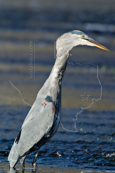 Great Blue Heron Swallowing Western Lesser Siren,<br /> Brazos Bend State Park, Texas