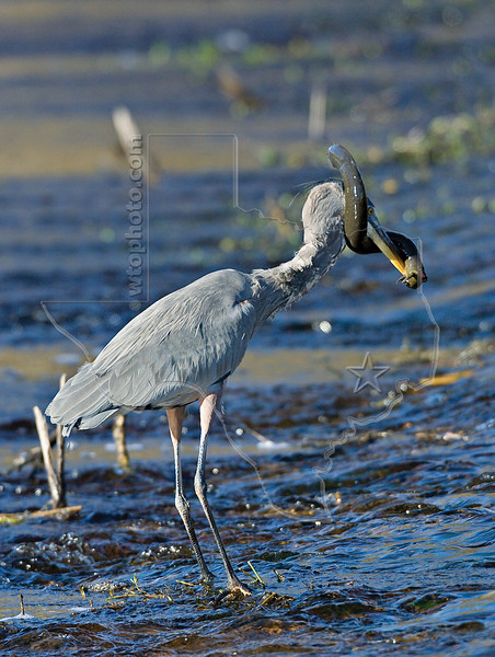 Western Lesser Siren Struggles with Great Blue Heron,<br /> Brazos Bend State Park, Texas