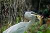 Great Blue Heron Speared a Catfish,<br /> Brazos Bend State Park, Texas