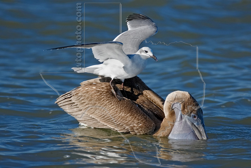 Brown Pelican, Juvenile, Feeding with Laughing Gull Standing on Back,<br /> Freeport Jetty, Freeport, Texas