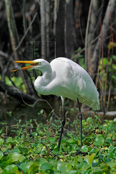 White Egret, Eating a Fish,<br /> Brazos Bend State Park, Texas