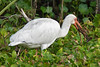White Ibis, Eating Crawfish<br /> Brazos Bend State Park, Texas