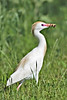 Cattle Egret with Lizard,<br /> Brazos Bend State Park, Texas