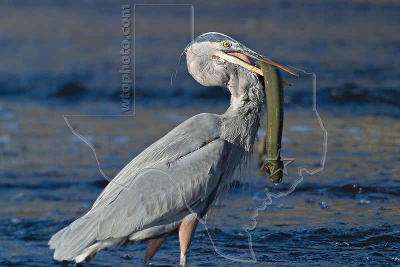 Great Blue Heron Attempting to Swallow Western Lesser Siren,<br /> Brazos Bend State Park, Texas