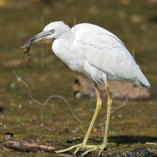 Little Blue Heron, Juvenile, Nabs a Frog<br /> Brazos Bend State Park, Texas