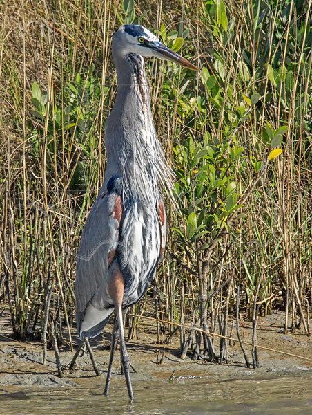 Great Blue Heron, Eating Flounder,<br /> East Beach, Galveston, Texas