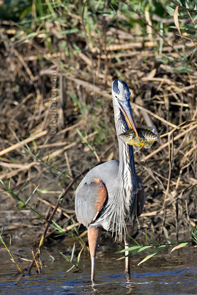 Great Blue Heron and Perch,<br /> Anahuac National Wildlife Refuge, Texas