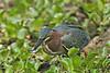 Green Heron, Feeding, Brazos Bend State Park