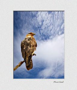 Karakara bird from Costa Rica