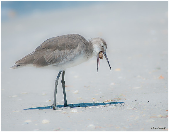 Is It Going In Or Out<br /> <br /> This Sandpiper seems not to be enjoying this nut-- or is he?
