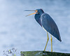 We have here a Non Breeding Adult Tri-Colored Heron From Tampa Fl.