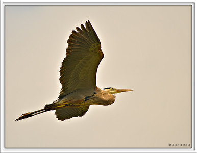 Solitary Flight WE have here a Blue Heron in flight