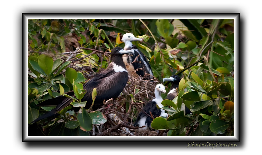 A family affair- -we find here Frigates of different ages.. Taken in the Galapagos