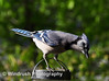 002 Blue Jay, Columbia, Maryland