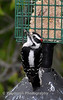 016 Downy Woodpecker, Columbia, Maryland