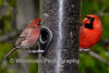 012 House Finch and Cardinal Bird, Columbia, Maryland