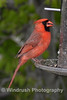 006 Cardinal Bird, Columbia, Maryland