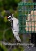 014 Downy Woodpecker, Columbia, Maryland