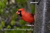 010 Cardinal Bird, Columbia, Maryland