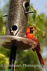 011 Cardinal Bird, Columbia, Maryland