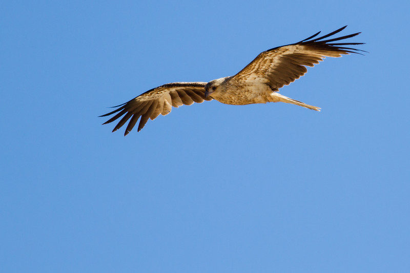 """Whistling Kite, Haliastur sphenurus in flight - Bird in Flight - Birds - Alexandria Bay, Noosa National Park, Noosa Heads, Sunshine Coast, Queensland, Australia; 12 July 2011. Photos by Des Thureson:  <a href=""""http://disci.smugmug.com"""">http://disci.smugmug.com</a>."""