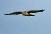 Kestral Falcon