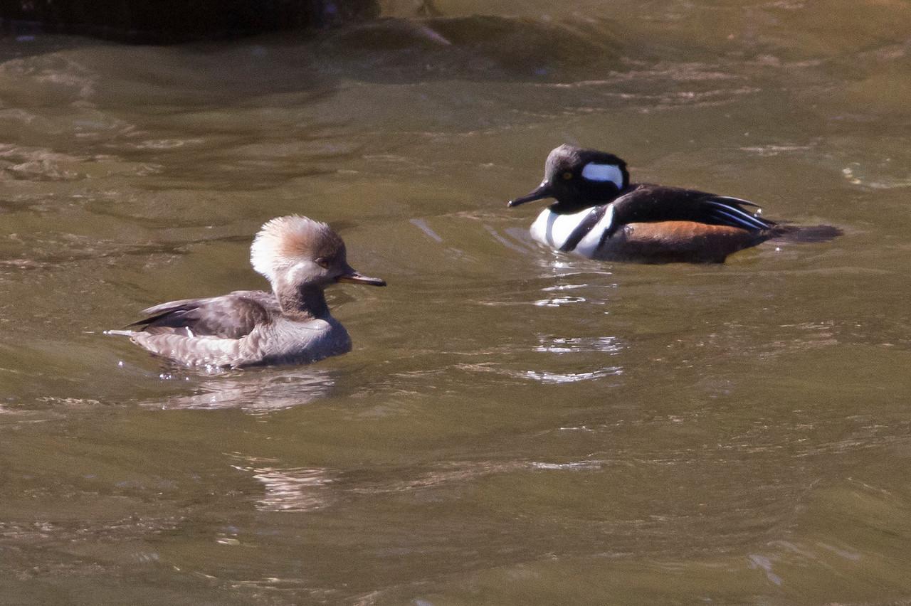 Hooded Mergansers Duck