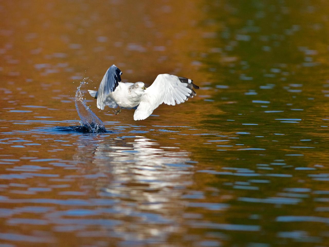 Gull emerging