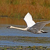 Trtumpeter Swan in flight at Crex Meadows- 10/7/13