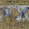 Crane fight!  10/28/13