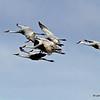 Group of Sandhills in flight.  10/28/13