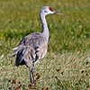 Adult Sandhill Crane near Crex Meadows in a field.<br /> 10/28/13
